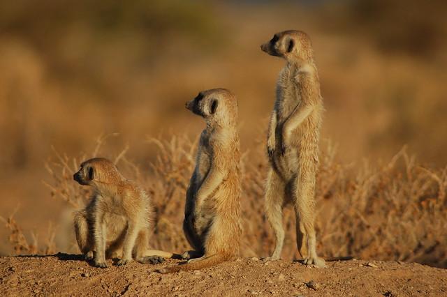 Suricatas en Namibia