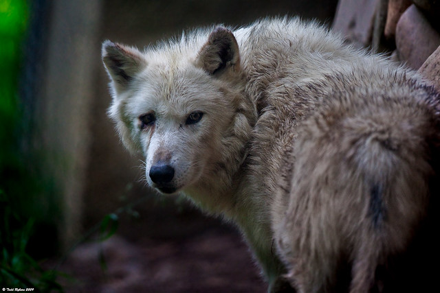 Old Grey Wolf | This old guy is located at the Wildlife ...