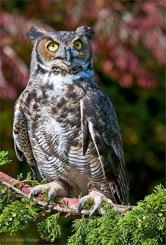 horned owl, captured