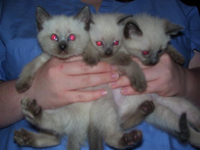 cute fluffy siamese kittens - photo #29