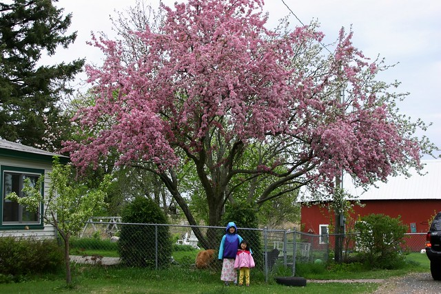 Apple tree in backyard | Flickr - Photo Sharing!