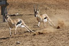 pronghorn(0.0), animal(1.0), antelope(1.0), springbok(1.0), mammal(1.0), fauna(1.0), oryx(1.0), gazelle(1.0), wildlife(1.0),