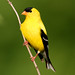 American Goldfinch (Breeding Male)