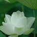 Lotus flower by kaycatt*