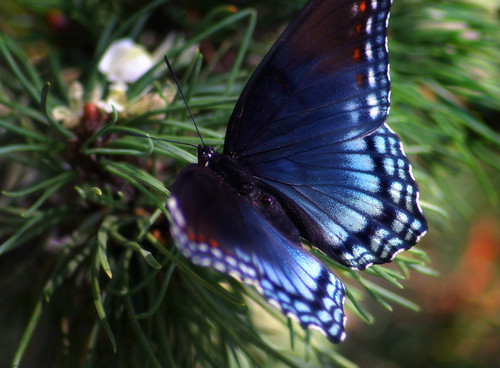 Blue inside- Butterfly on Mugho Pine