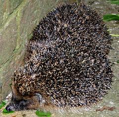 domesticated hedgehog(0.0), wildlife(0.0), echidna(1.0), animal(1.0), hedgehog(1.0), porcupine(1.0), erinaceidae(1.0), fauna(1.0),
