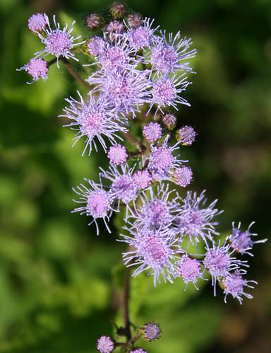 Blue mistflower, Conoclinium (Eupatorium) coelestinum