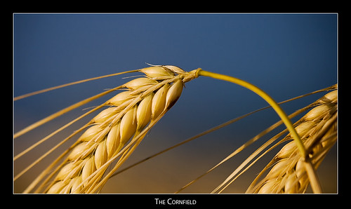 macro cornfield wheat badradkersburg