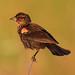 Red-winged Blackbird (Immature)