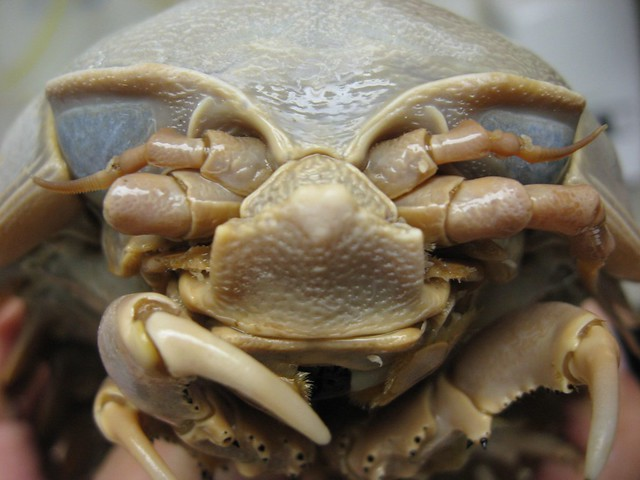 Giant Isopod (Bathynomus giganteus)