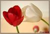 ||Tulipe...