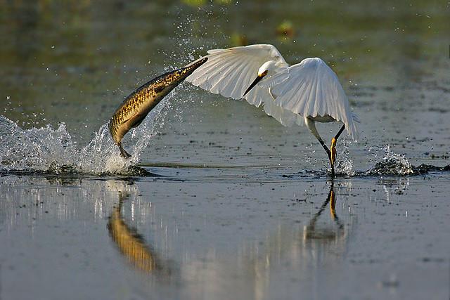 BOF038 Snowy Egret-Gar Fish