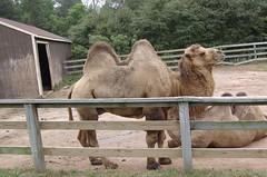 alpaca(0.0), arabian camel(0.0), animal(1.0), zoo(1.0), mammal(1.0), fauna(1.0), camel(1.0),