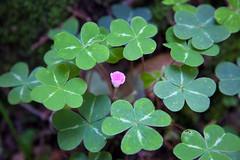 annual plant, trifolieae, flower, leaf, herb, flora, green, petal,