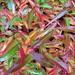 Small photo of Polygonum affine (Persicaria)