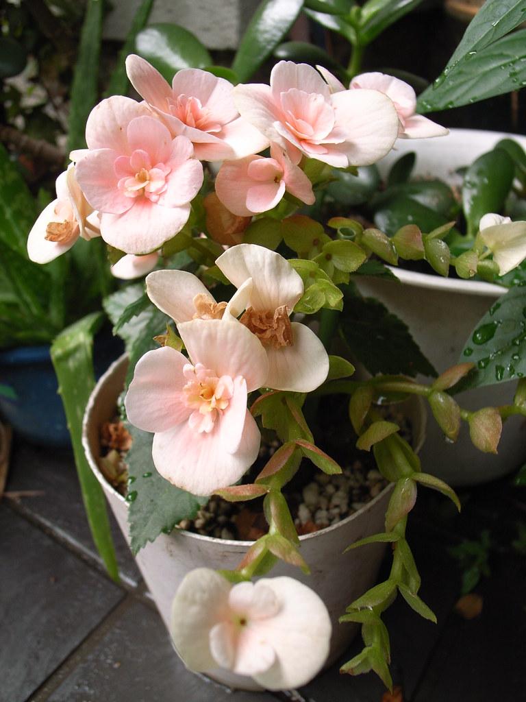 begonia фото