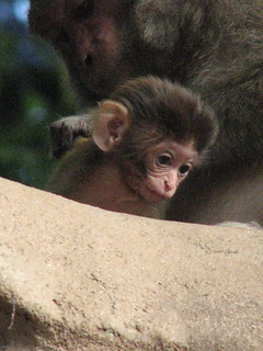 Swayambunath Stupa Monkeys #8