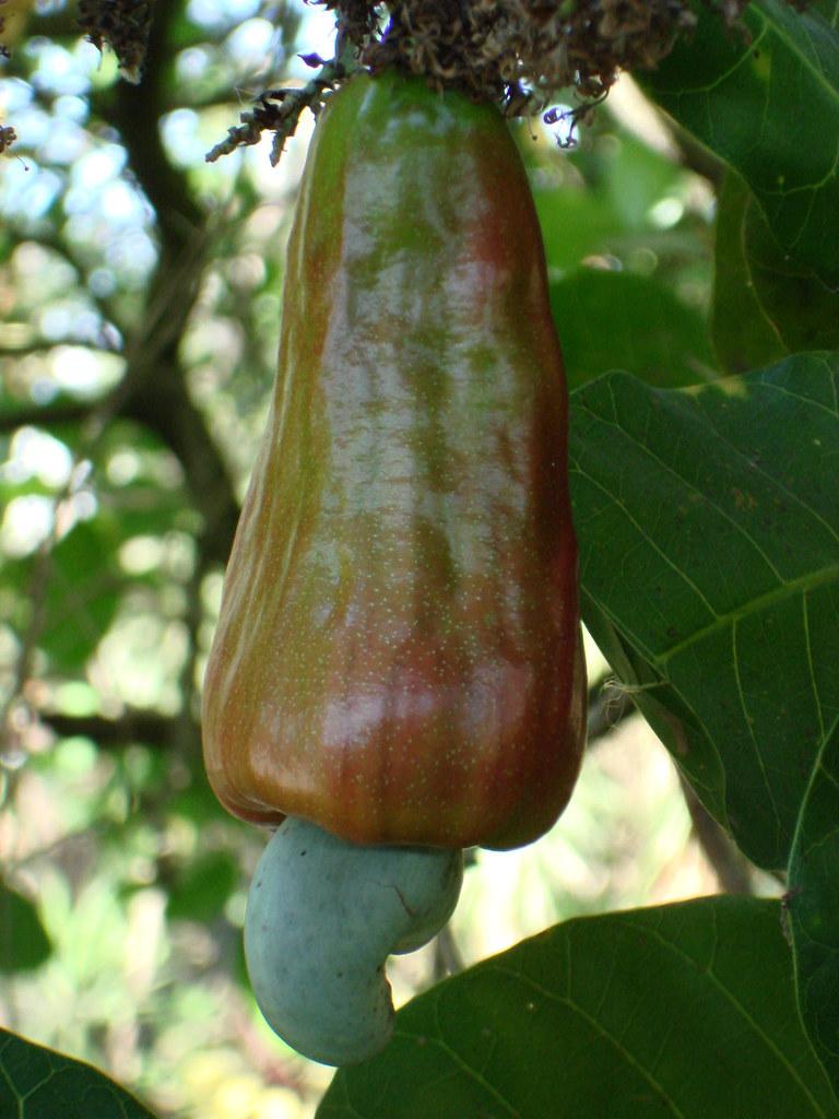 Fruto de anacardo - cashew fruit - El Salvador, Central America