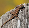 "<a href=""http://www.flickr.com/photos/jroldenettel/1438195830/"">Photo of Sceloporus undulatus by Jerry Oldenettel</a>"