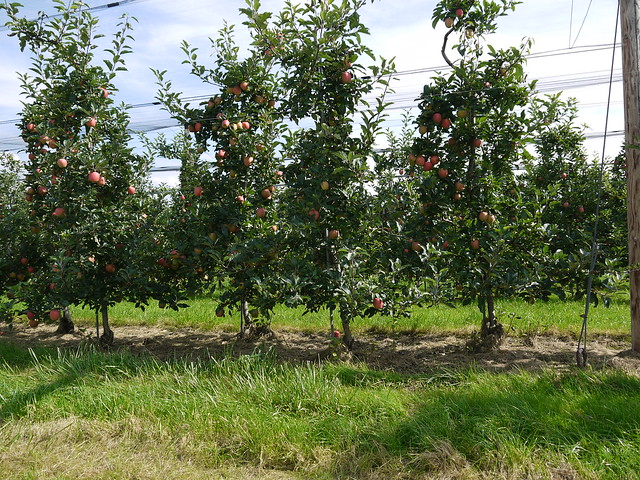 Header of Apple Orchards