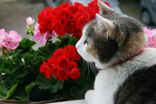 Boo Behind The Geraniums