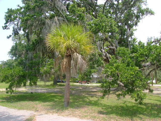 Palmetto And Oak Flickr Photo Sharing