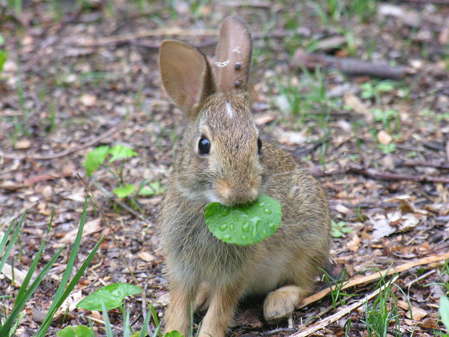 weed eating bunny