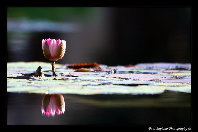 Lone Frogless Lily Pad