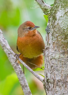 João-botina-do-brejo (Orange-eyed Thornbird)