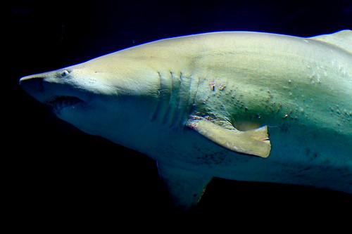 Tiburón toro / Bull Shark / Underwater life