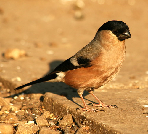 Bullfinch Female 39100