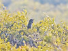Western Whipbird (Psophodes nigrogularis)