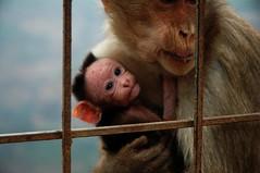 chimpanzee(0.0), orangutan(0.0), common chimpanzee(0.0), nose(1.0), animal(1.0), monkey(1.0), mammal(1.0), fauna(1.0), old world monkey(1.0), new world monkey(1.0), macaque(1.0), ape(1.0),