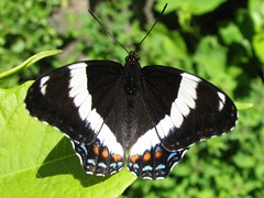 White Admiral - Photo (c) Gilles Gonthier, some rights reserved (CC BY)