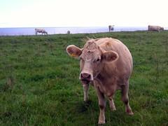 water buffalo(0.0), texas longhorn(0.0), bull(0.0), horn(0.0), ox(0.0), cattle-like mammal(1.0), animal(1.0), prairie(1.0), farm(1.0), field(1.0), grass(1.0), mammal(1.0), dairy cow(1.0), grazing(1.0), fauna(1.0), meadow(1.0), cattle(1.0), calf(1.0), pasture(1.0), grassland(1.0),