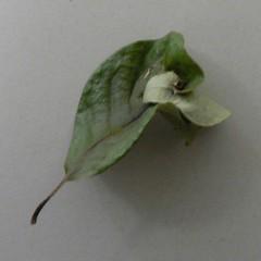 transdimensional leaf