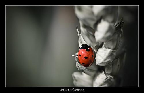 macro cornfield wheat ladybug