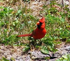 The Regal Cardinal, Fairmont, WV
