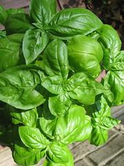 vegetable, komatsuna, plant, herb, basil,