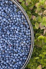Blueberry and Bunchberries,Maine, 2007