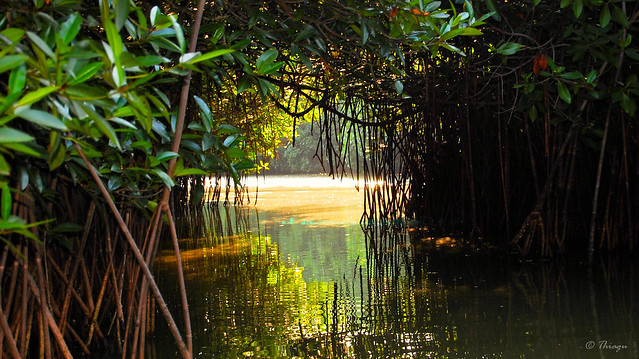 reflection in the mangroves