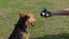 animal(1.0), dog(1.0), pet(1.0), mammal(1.0), welsh terrier(1.0), terrier(1.0), airedale terrier(1.0),