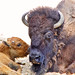 Small photo of Mother bison and calf