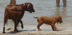 animal, dog, pet, mammal, irish setter, setter,