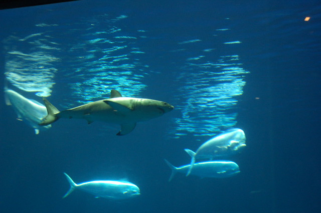 Great white shark eating dolphin