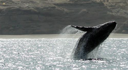 Attraction Voyages - Pérou Côte Pacifique - Mancora - Baleine à bosse #25
