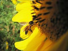 Honey Bee on a Sunflower 2