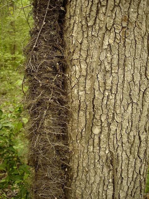Toxicodendron radicans (Poison Ivy) Anacardiaceae