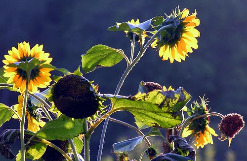 shadow flower germany village thuringia yellowflower explore sunflower schatten sonnenblume explored gartenblume bürden