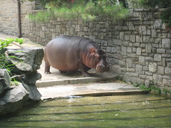The Zoo - Hippo 3